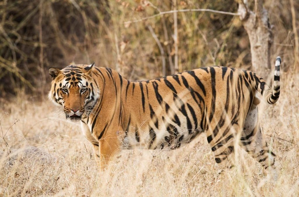 29 July, Tiger International Day